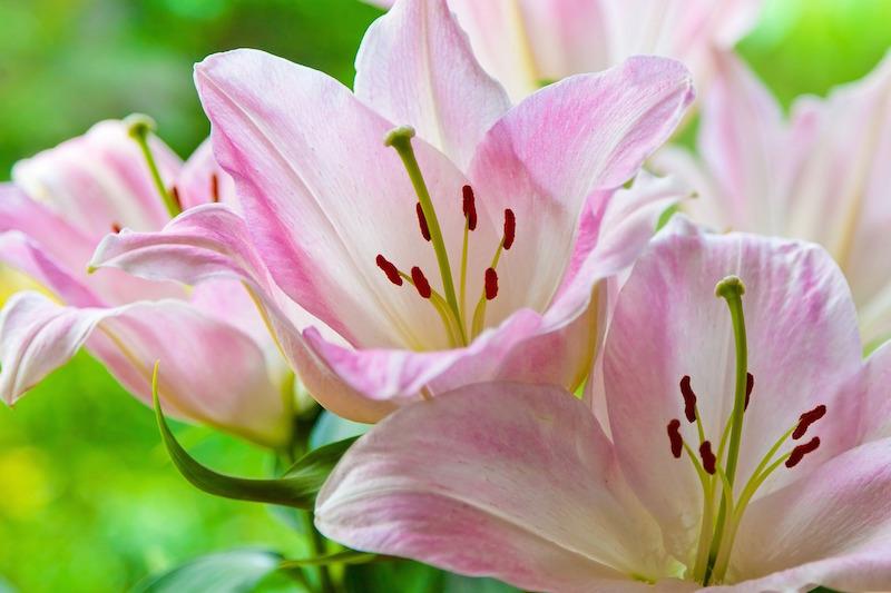 Lilien als Frühjahrsblüher