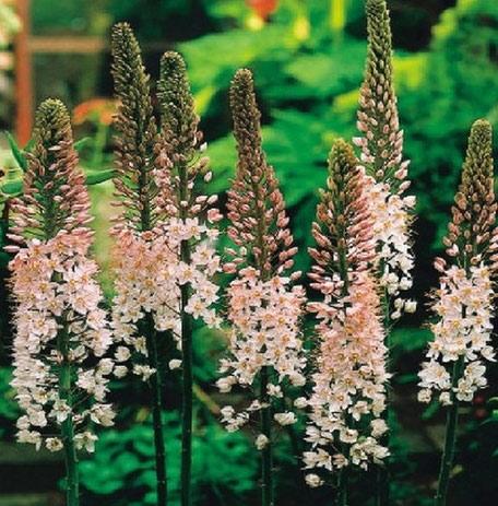 Steppenkerze-Eremurus als Frühjahrsblüher