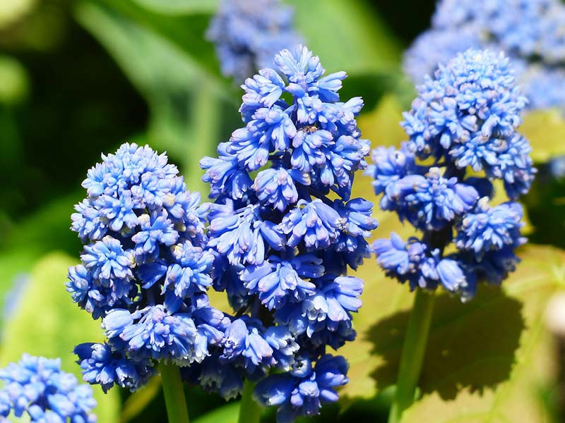 Traubenhyazinthe-Muscari als Frühjahrsblüher