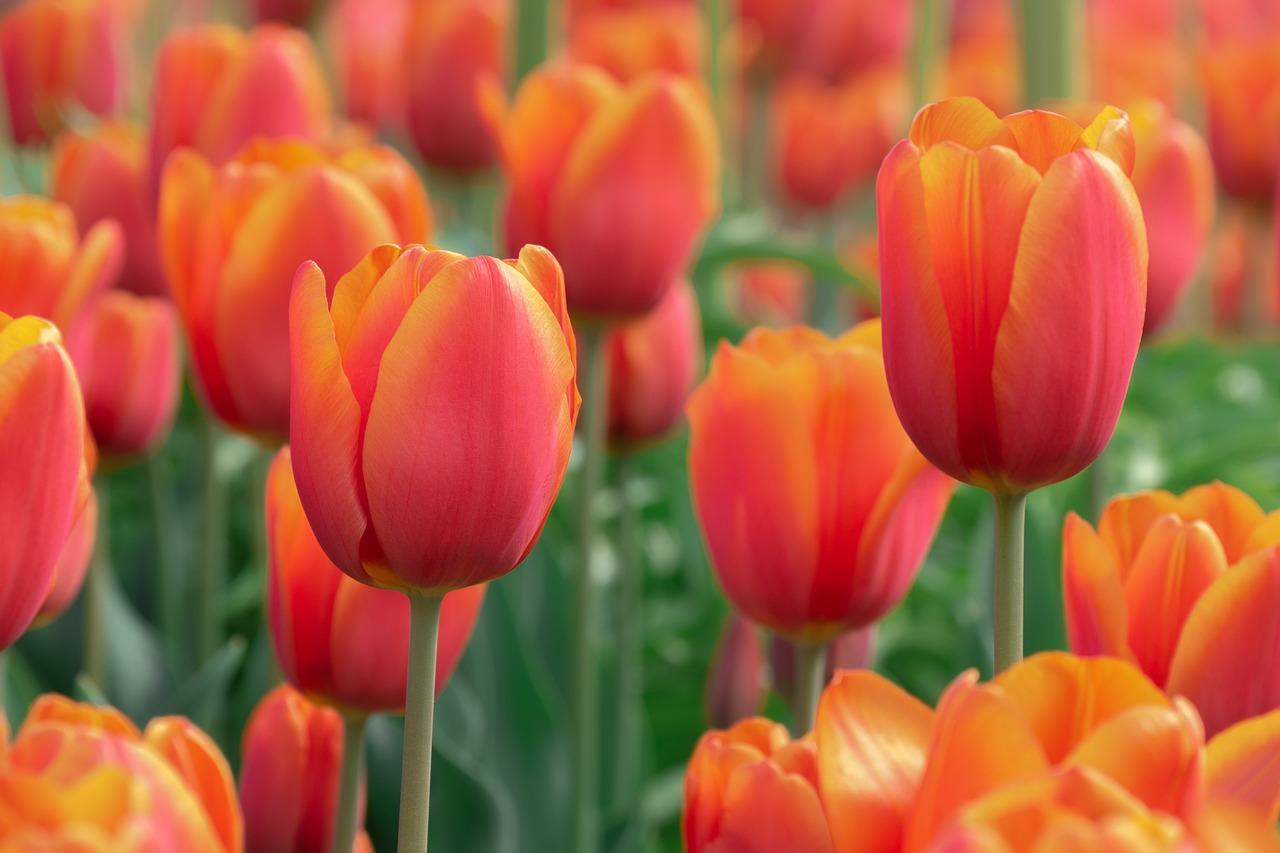 Frühlingsblüher: Herrliche Blumenpracht bereits zu Jahresbeginn