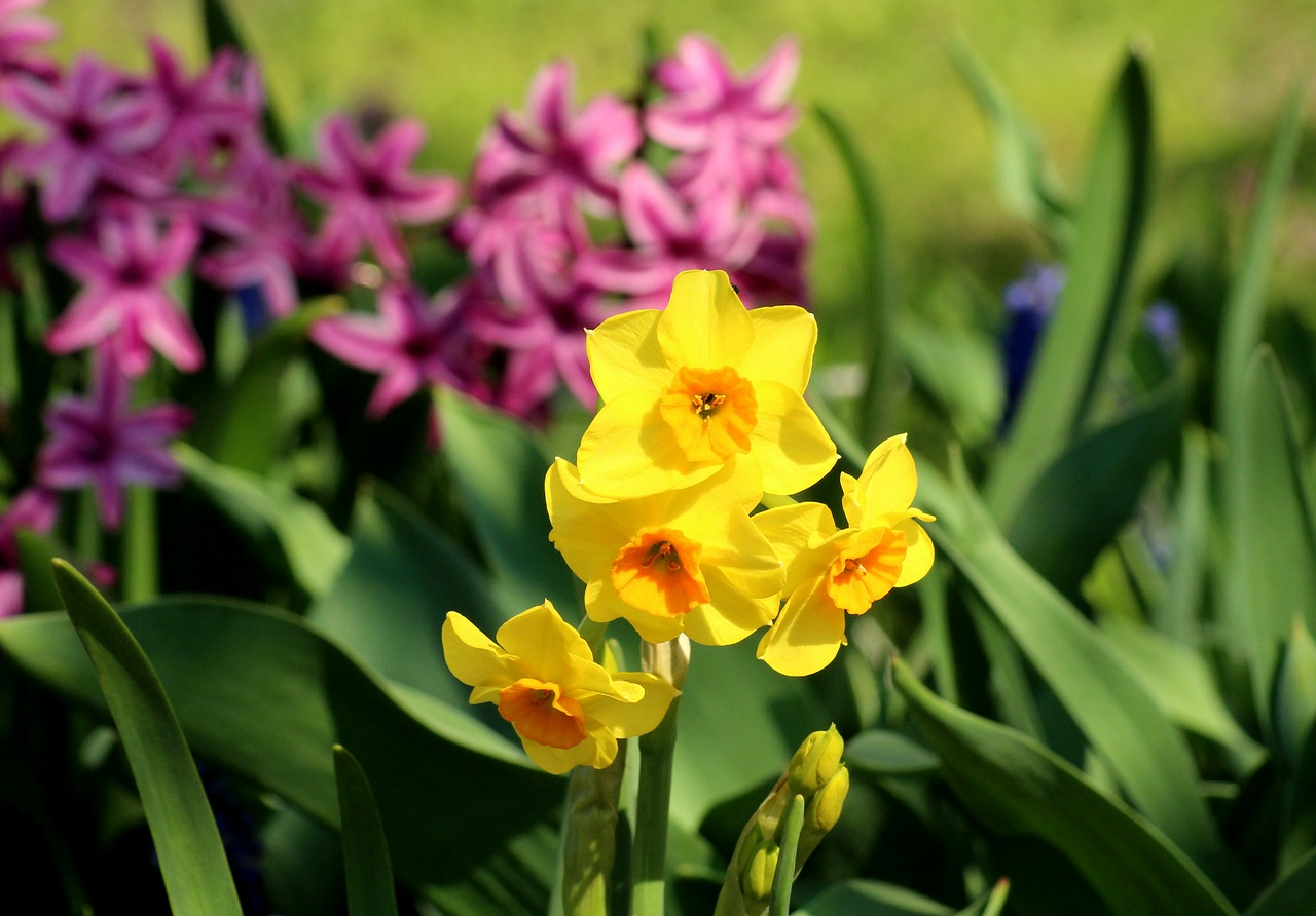Narzissen als Frühjahrsblüher