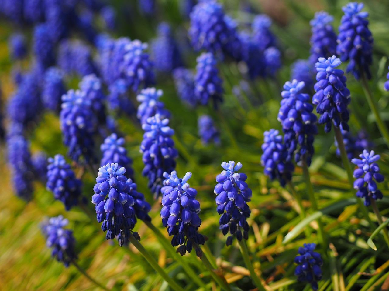 Traubenhyazinthe und Zierlauch-Allium