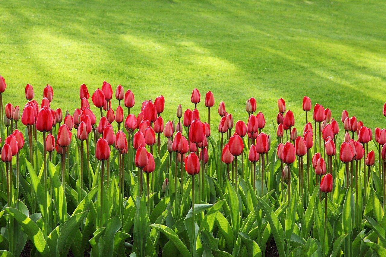 Tulpen als Frühjahrsblüher