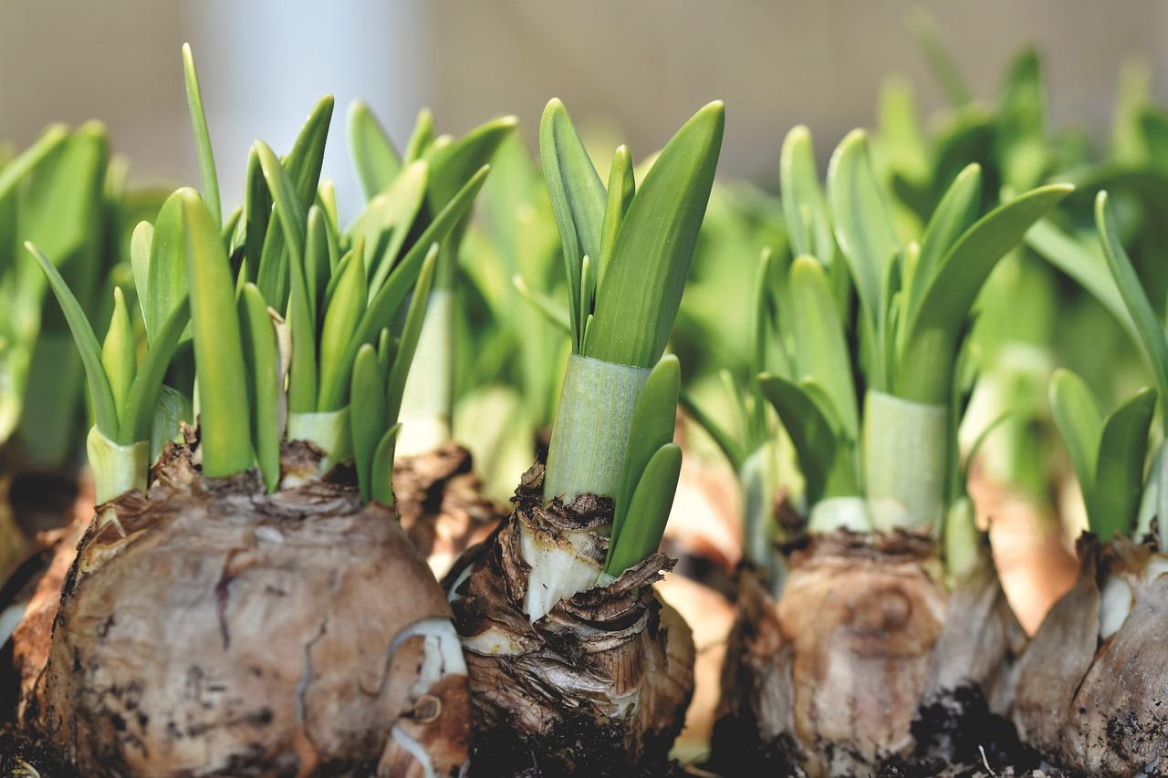 Wie sollte man Blumenzwiebeln einpflanzen?