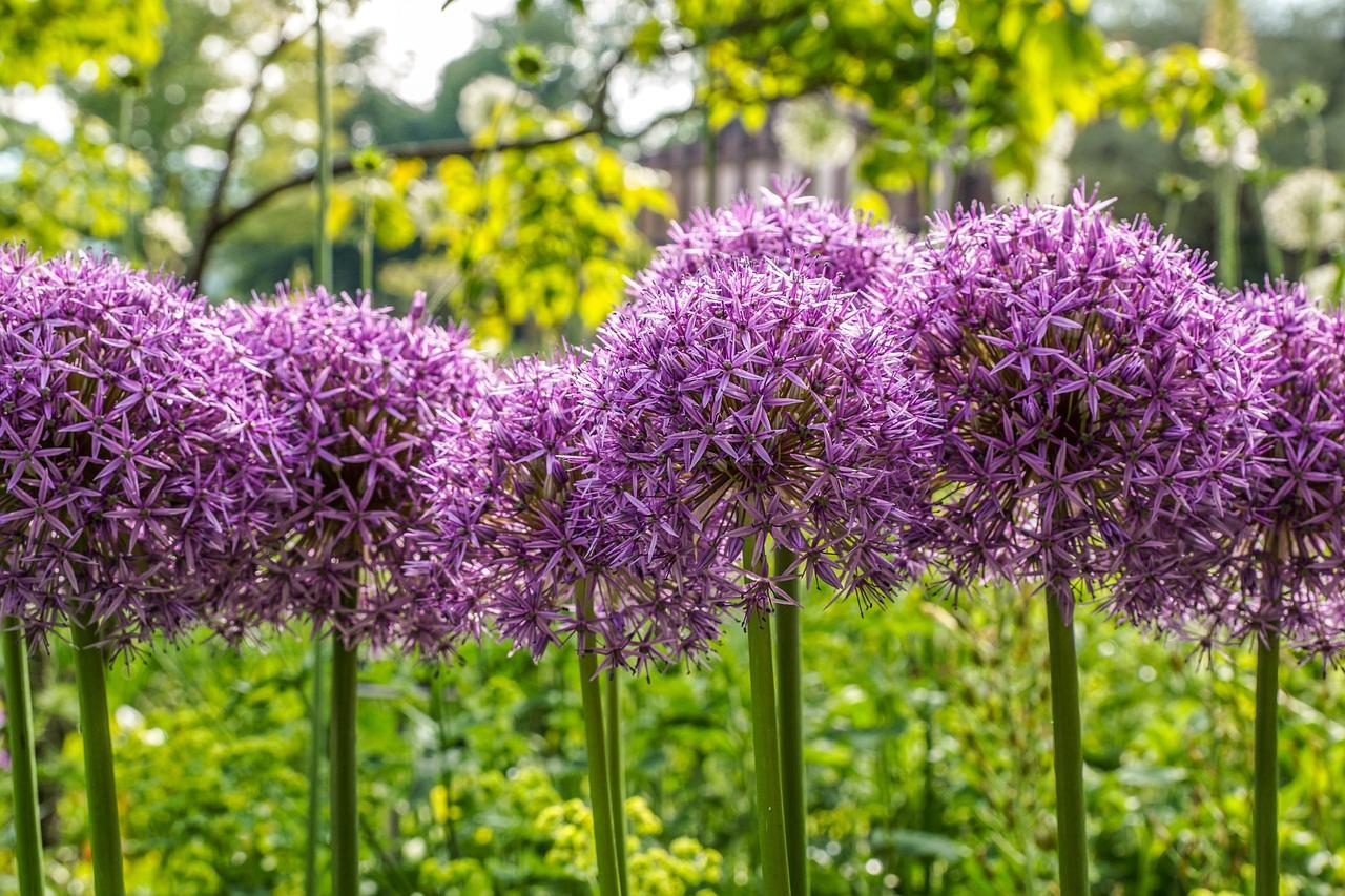 Zierlauch – Allium als Frühjahrsblüher